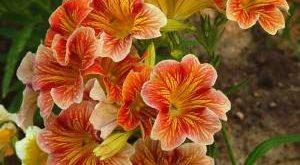 Сальпиглоссис фото цветка