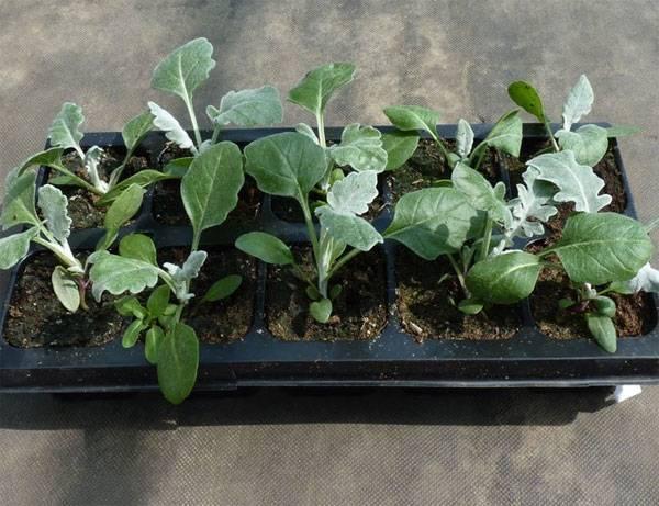 Выращивание рассады Цинерарии фото