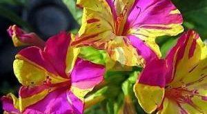 Мирабилис фото цветка