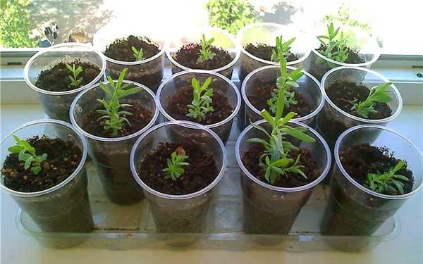 Семена лаванды в домашних условиях 275