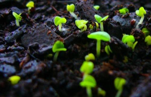 Выращивание рассады Ибериса фото