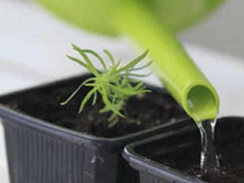 Кохия выращивание из семян фото