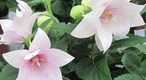 Цветок Платикодон фото