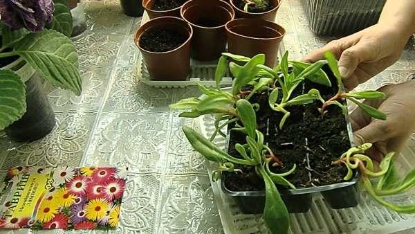 Мезембриантемум - выращивание рассады