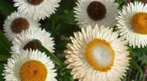 Цветок Гелихризум фото