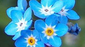 Цветок Незабудка фото