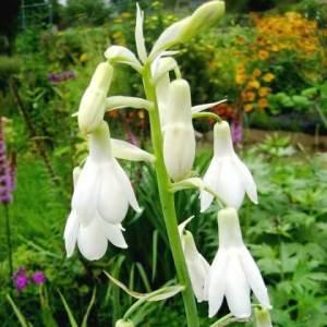 Цветок Гальтония фото