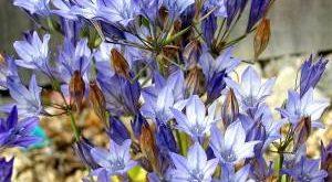 Цветок Трителейя фото