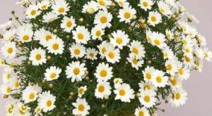 Цветок Аргирантемум фото