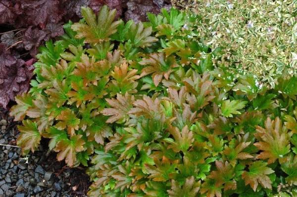 Цветок Мукдения Карасуба фото