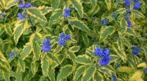 Цветок Кариоптерис фото