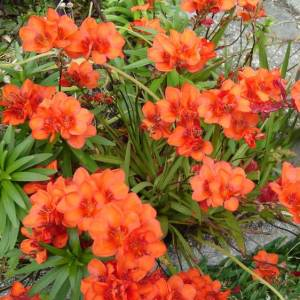 Цветок Тритония фото