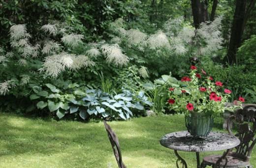 Арункус фото растения