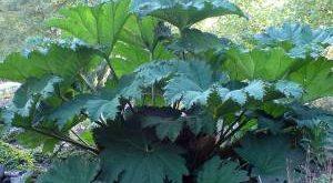 Растение Гуннера фото