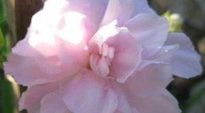 Цветок Калистегия фото