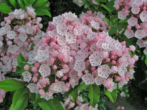 Кальмия широколистная фото цветка