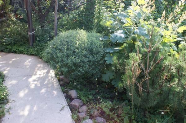 Маклея - фото растения