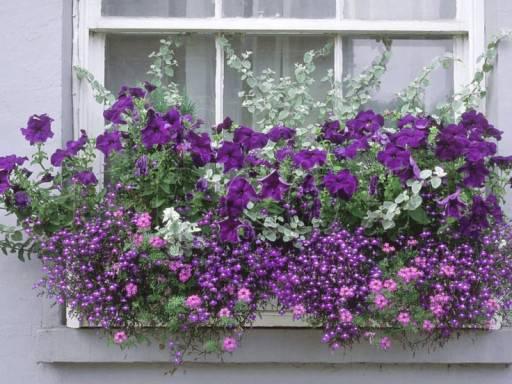 Сцевола ампельная - фото цветка