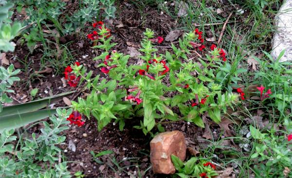 Куфея - фото цветка в саду