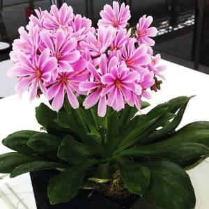 Цветок Левизия фото