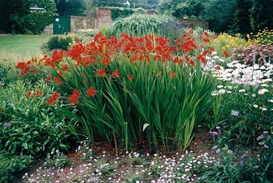 Монтбреция - фото цветка