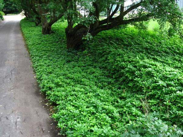 Пахизандра - фото растения