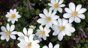 Цветы Сангвинария фото