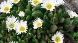 Цветок Делосперма фото