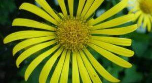 Цветок Дороникум фото