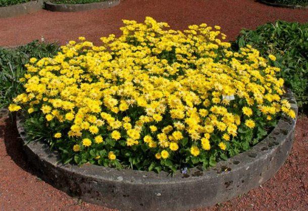 Фото цветов Дороникума