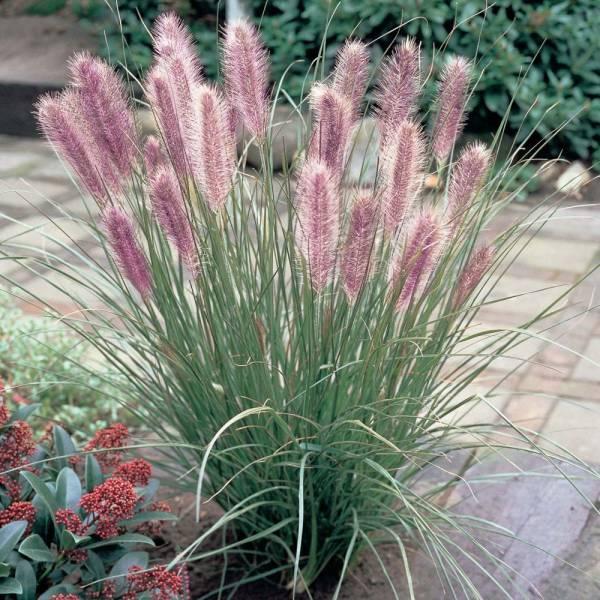 Растение Вейник фото