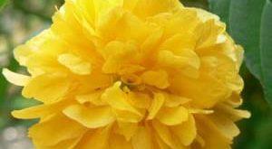 Цветок Керрия фото