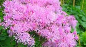 Цветок Василистник фото