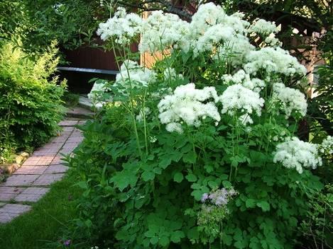 Василистник - фото цветка