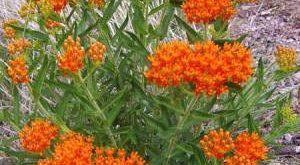 Цветок Ваточник фото