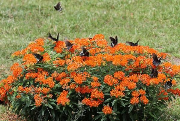 Фото цветов Ваточник