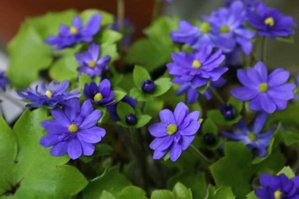 Фото цветов Печеночницы