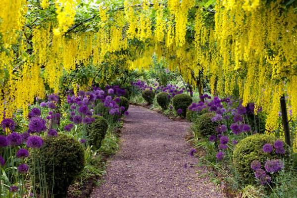 Фото цветов Бобовника в саду