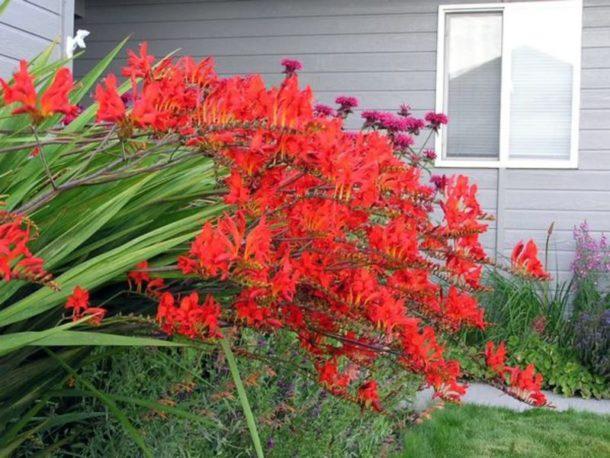 Фото цветов Крокосмии