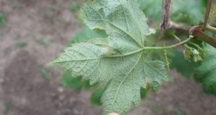 Болезни винограда - обработка куративным фунгицидом фото