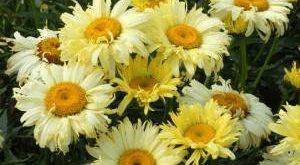 Цветок Леукантемум Нивяник фото