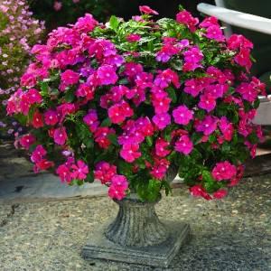 Цветок Катарантус фото