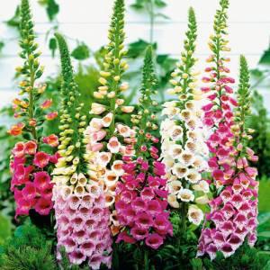 Цветок Наперстянка фото