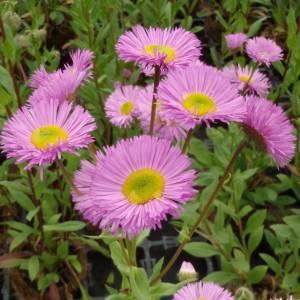Эригерон фото цветка