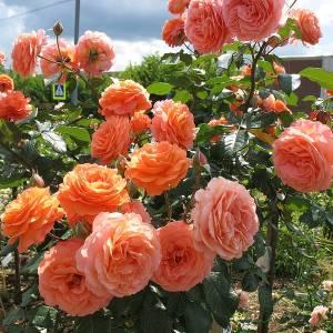 Розы-шрабы фото