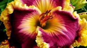 Цветы Лилейники фото