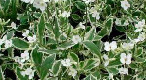 Цветок Резуха фото