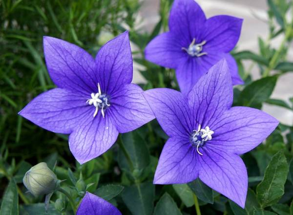 Ширококолокольчик - фото цветка