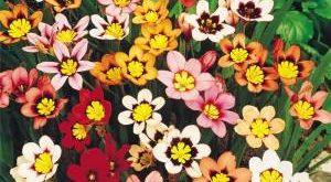 Цветы Спараксис фото