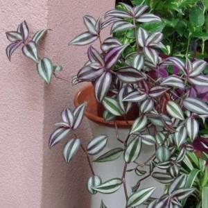 Цветок Зебрина фото